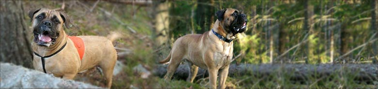 Remarkabull Bullmastiffs
